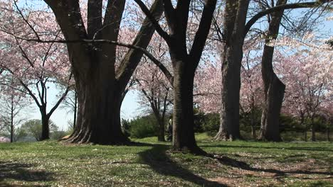 A-Couple-Walks-Through-A-Beautiful-Park-Full-Of-Cherry-Blossoms