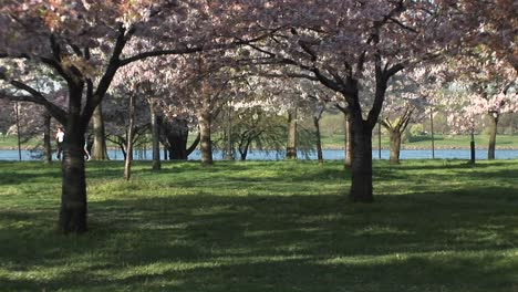 Joggers-Enjoy-The-Beautiful-Cherry-Blossoms-In-East-Potomac-Park