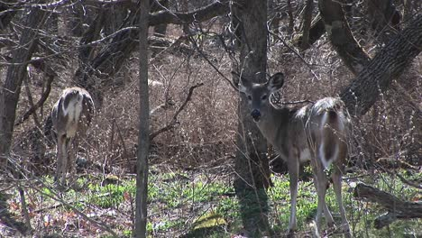 Watching-The-Behaviors-Of-Two-Whitetailed-Deer-In-A-Sunny-Meadow