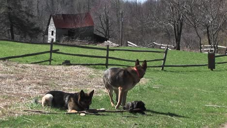 German-Shepherd-Dogs-Sit-In-A-Rural-Field-Playing-With-A-Stick