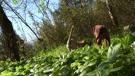 Young-White-Dog-Tries-In-Vain-To-Get-His-Older-Canine-Friend-To-Play