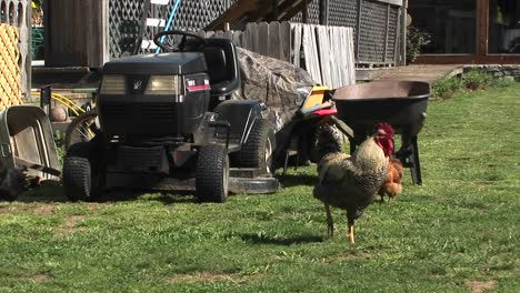 A-Rooster-Keeps-Watch-On-A-Lawn-In-Front-Of-A-Farmer-S-Equipment-Pile