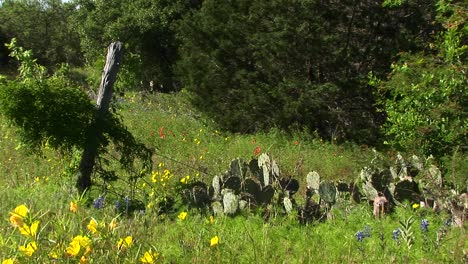 Mediumshot-Of-A-Field-With-Texas-Wildflowers-And-Cacti