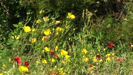 Mediumshot-Of-Yellow-And-Red-Texas-Wildflowers-Swaying-In-The-Breeze