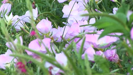 Closeup-Of-Pink-And-White-Texas-Wildflowers-Moving-In-The-Breeze