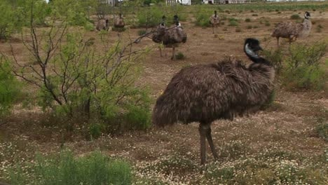 Mediumshot-Of-A-Flock-Of-Emus-Walking-In-A-Field