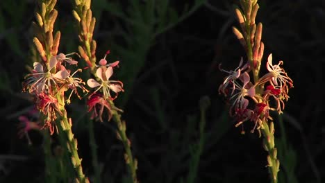 Closeup-Of-Texas-Wildflowers-Moving-In-The-Breeze-1