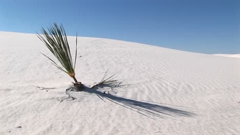 Medium-Shot-Of-A-Plant-At-White-Sands-National-Monument-In-New-Mexico