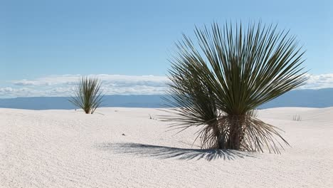 Medium-Shot-Of-A-Yucca-Plant-At-White-Sands-National-Monument-In-New-Mexico