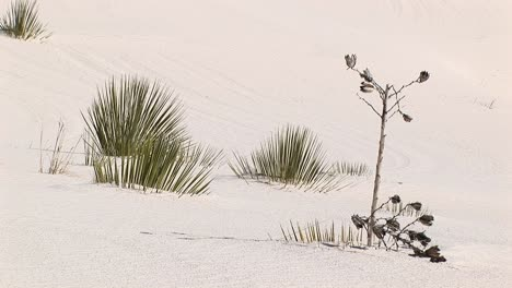 Medium-Shot-Of-Plants-At-White-Sands-National-Monument-In-New-Mexico