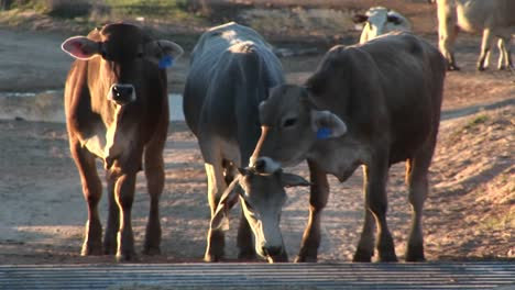 Medium-Shot-Of-Cattle-Stopped-At-Cattleguard-On-A-Dirt-Road
