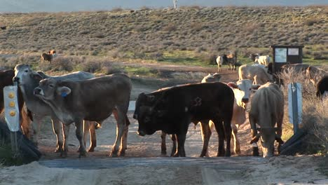 Medium-Shot-Of-Cattle-Stopped-At-Cattleguard-On-A-Dirt-Road-1