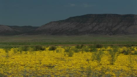 A-Field-Of-Mustard-Blooms-In-The-Desert