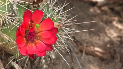 Closeup-Of-A-Bee-Pollinating-A-Blooming-Desert-Cactus