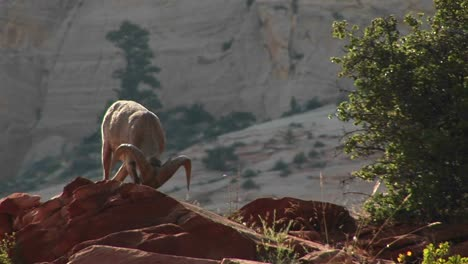 A-Bighorn-Sheep-Stands-Proudly-On-A-Cliff