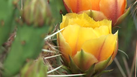 Closeup-Of-A-Blooming-Desert-Cactus-In-Zion-National-Park-1