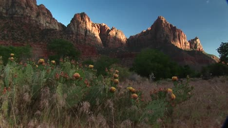 Medium-Shot-Of-Blooming-Desert-Cactus-In-Zion-National-Park-1
