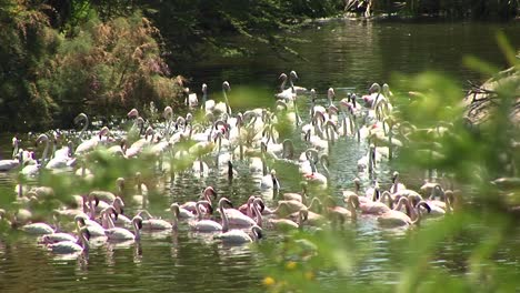 Longshot-Of-A-Flock-Of-Flamingos-Congregating-In-The-Water