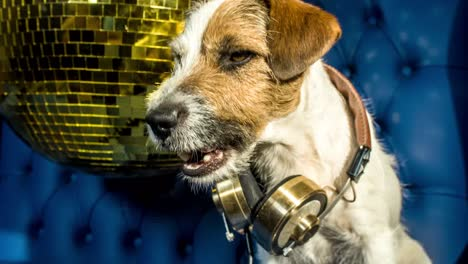 Dog-Gold-Disco-4K-06