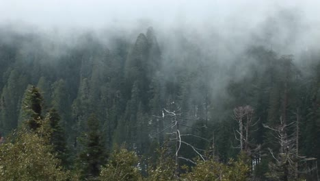 Highangle-Of-A-Forest-Of-Pine-Trees-Being-Enveloped-In-A-Slowmoving-Fog-Bank