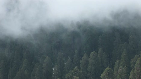Birdseye-Of-A-Forest-Of-Pine-Trees-Gently-Shrouded-By-A-Slowly-Moving-Fog