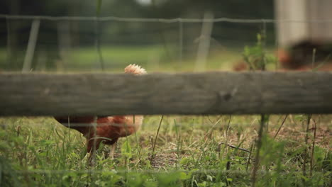 An-oblique-shot-of-a-rooster-through-a-fence