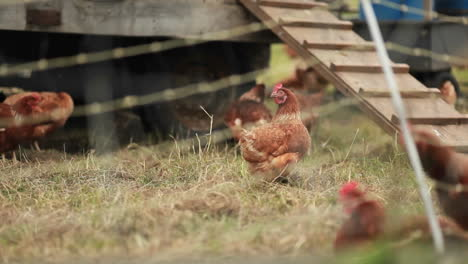 Chickens-are-seen-on-a-farm-through-barbed-wire