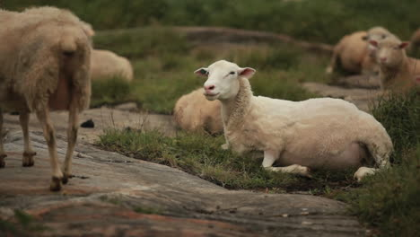 A-shorn-sheared-sheep-sits-in-the-fields