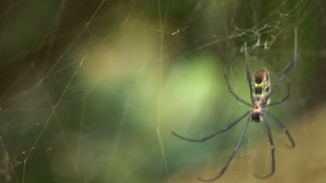Rack-focus-of-a-spider-as-it-hangs-in-its-web