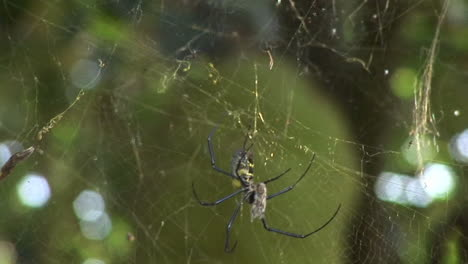 A-spider-hangs-in-its-web-in-front-of-a-Jackfruit-tree