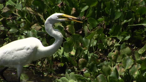A-heron-in-a-Florida-swamp-catches-a-fish-in-its-beak