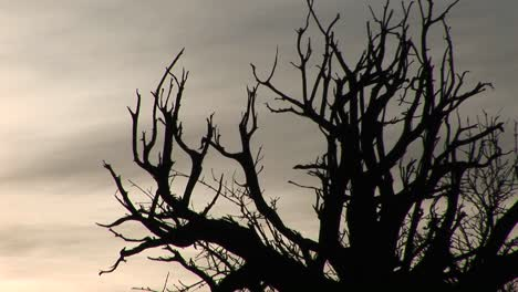 Bare-branches-are-silhouetted-against-a-gray-sky