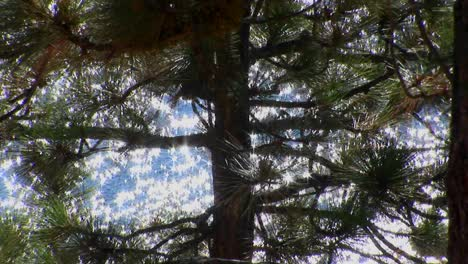 Sunlight-sparkles-on-water-in-Lake-Tahoe-behind-a-tall-evergreen-tree-in-the-Sierra-Nevada-mountains-