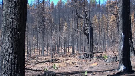 A-fire-burned-forest-with-trees-cut-down-1