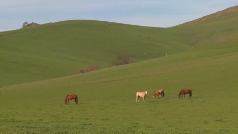 Horses-graze-in-green-fields