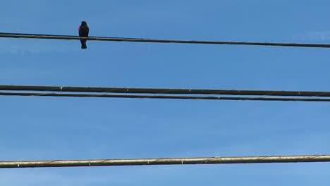 A-redwing-blackbird-sits-on-a-power-line