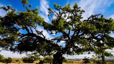 Argan-Tree-05