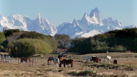 Vacas-Y-Ganado-Pastando-Cerca-De-Una-Finca-En-El-Sector-Fitzroy-De-La-Patagonia