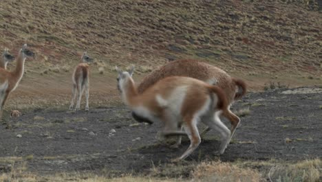 Guanacos-fight-in-a-mating-ritual-in-the-Andes-mountains-of-Patagonia