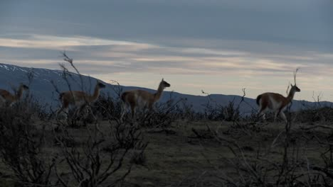 Gorgeous-guanaco-llamas-walk-across-an-open-plain-in-Argentina-with-the-Andes-in-the-background-Patagonia