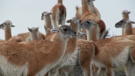 Guanacos-cluster-together-for-warmth-in-the-Andes-mountains-Patagonia-Torres-Del-Paine
