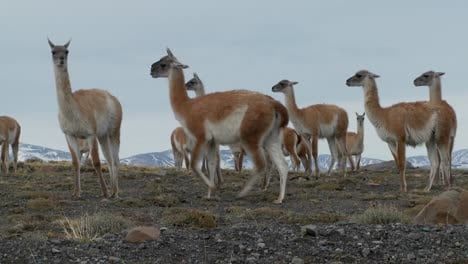 Guanacos-stand-together-in-formation-in-the-Andes-mountains-Patagonia