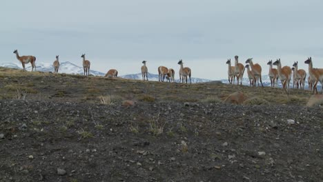 Guanacos-stand-together-in-formation-in-the-distance-in-the-Andes-mountains-Patagonia