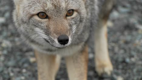 A-small-fox-in-the-Patagonia-region-of-Chile-Patagonia