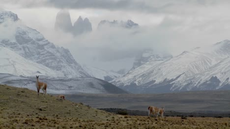 Gorgeous-guanaco-llamas-walk-across-an-open-plain-in-Argentina-with-the-Andes-in-the-background-Torres-Del-Paine-Patagonia-1