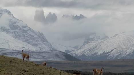 Guanacos-stand-together-in-formation-in-the-distance-in-the-Andes-mountains-Patagonia-Torres-Del-Paine