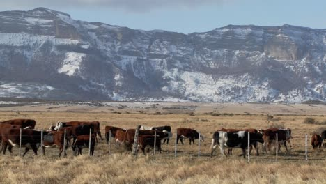 Cattle-graze-in-the-fields-on-a-ranch-with-snowy-mountains-background