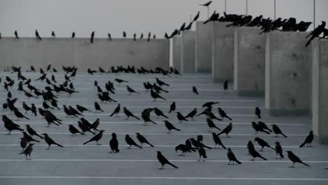 Pan-A-Través-De-Muchos-Pájaros-Negros-Sentados-En-Una-Estructura-De-Estacionamiento-En-Una-Escena-Que-Recuerda-A-Alfred-Hitchcock