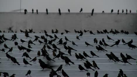 Panorámica-A-Través-De-Muchos-Pájaros-Negros-Sentados-En-Una-Estructura-De-Estacionamiento-En-Una-Escena-Que-Recuerda-A-Alfred-Hitchcock-1