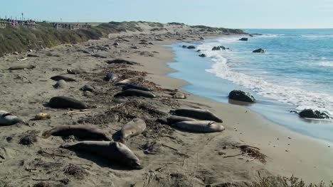 Large-groups-of-elephant-seals-lie-on-a-beach-in-Central-California